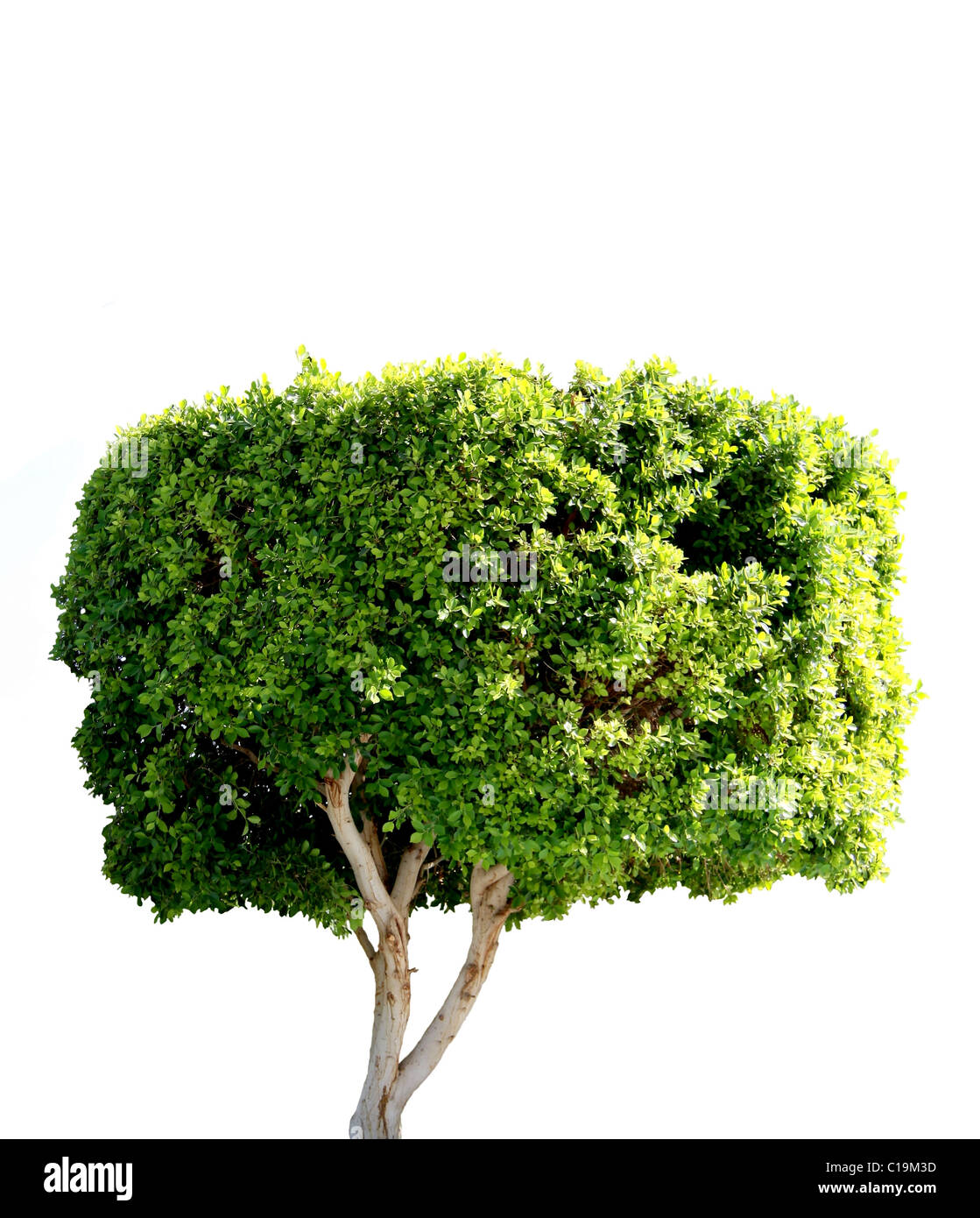 small dark green tree isolated on white background - Stock Image