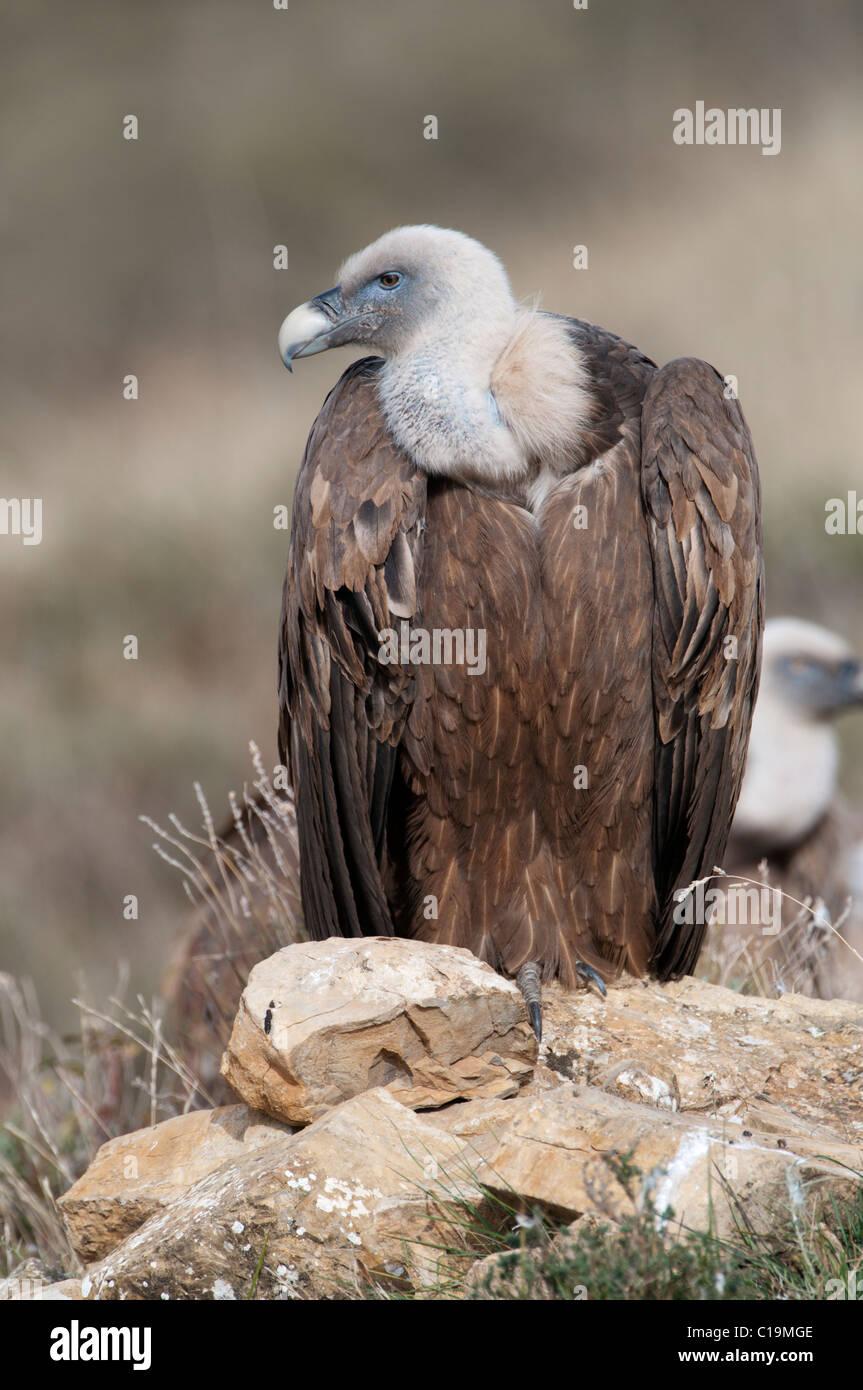 Griffon Vulture Gyps fulvus Catalonian Pyrenees Spain winter - Stock Image