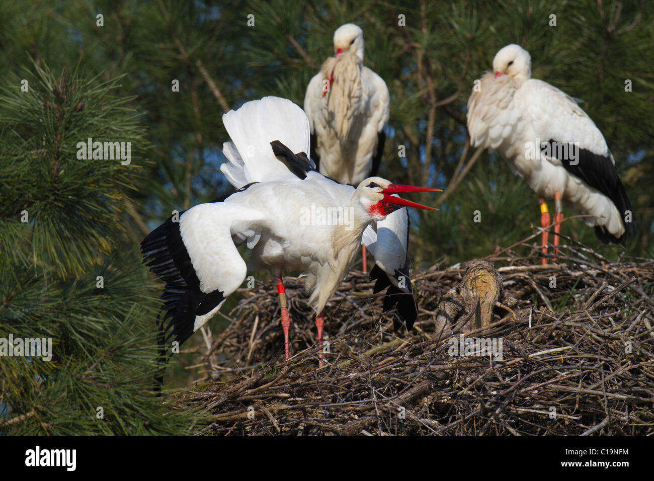 White Stork (Ciconia ciconia) displaying on its nest watched by another pair of storks Stock Photo