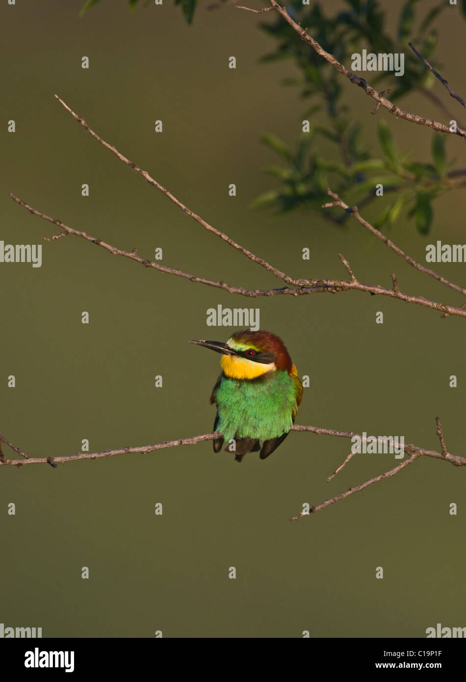 Bee-eater Merops apiaster Spanish Steppes Spain May Stock Photo