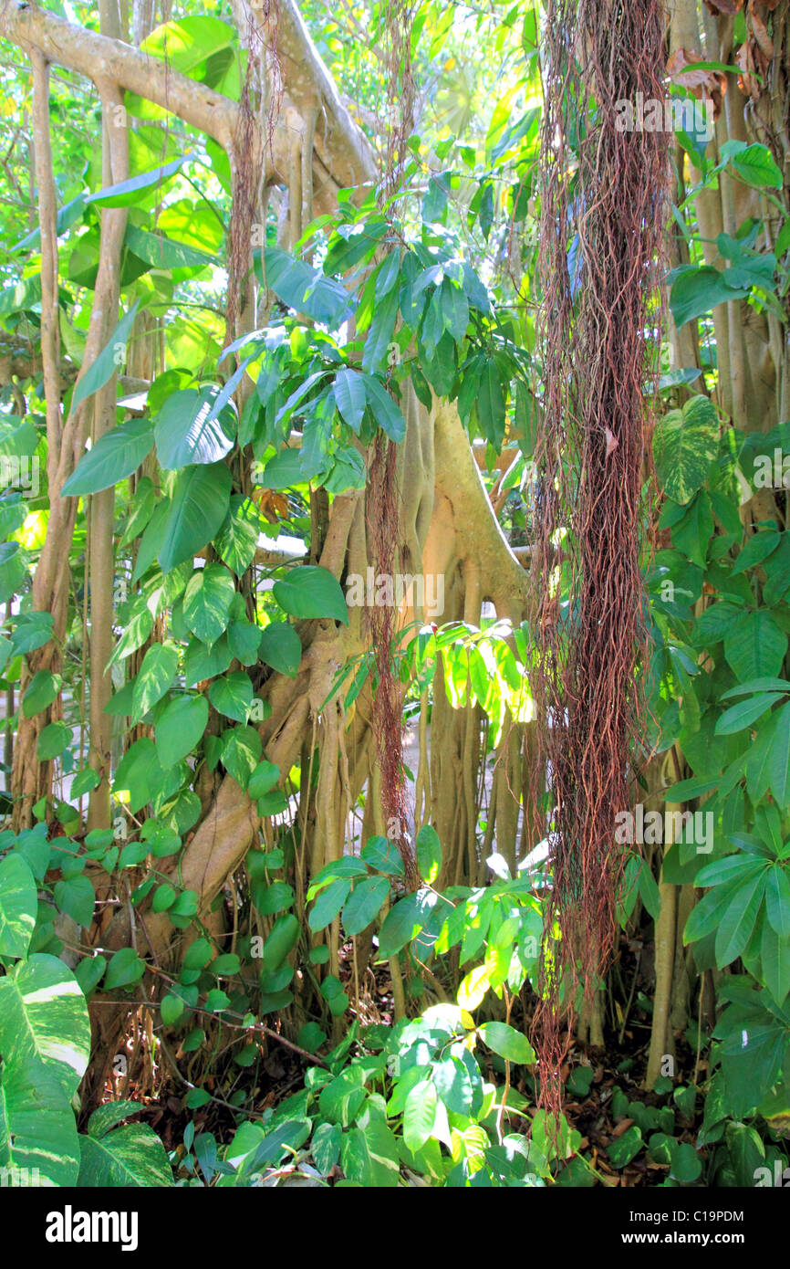 Rainforest jungle in central america wild nature lianas - Stock Image