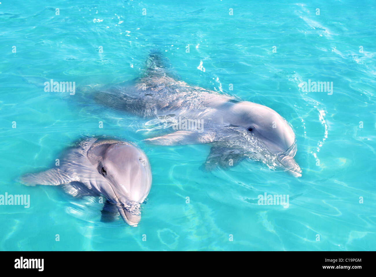 Dolphins couple swimming in blue turquoise water clean water Stock Photo