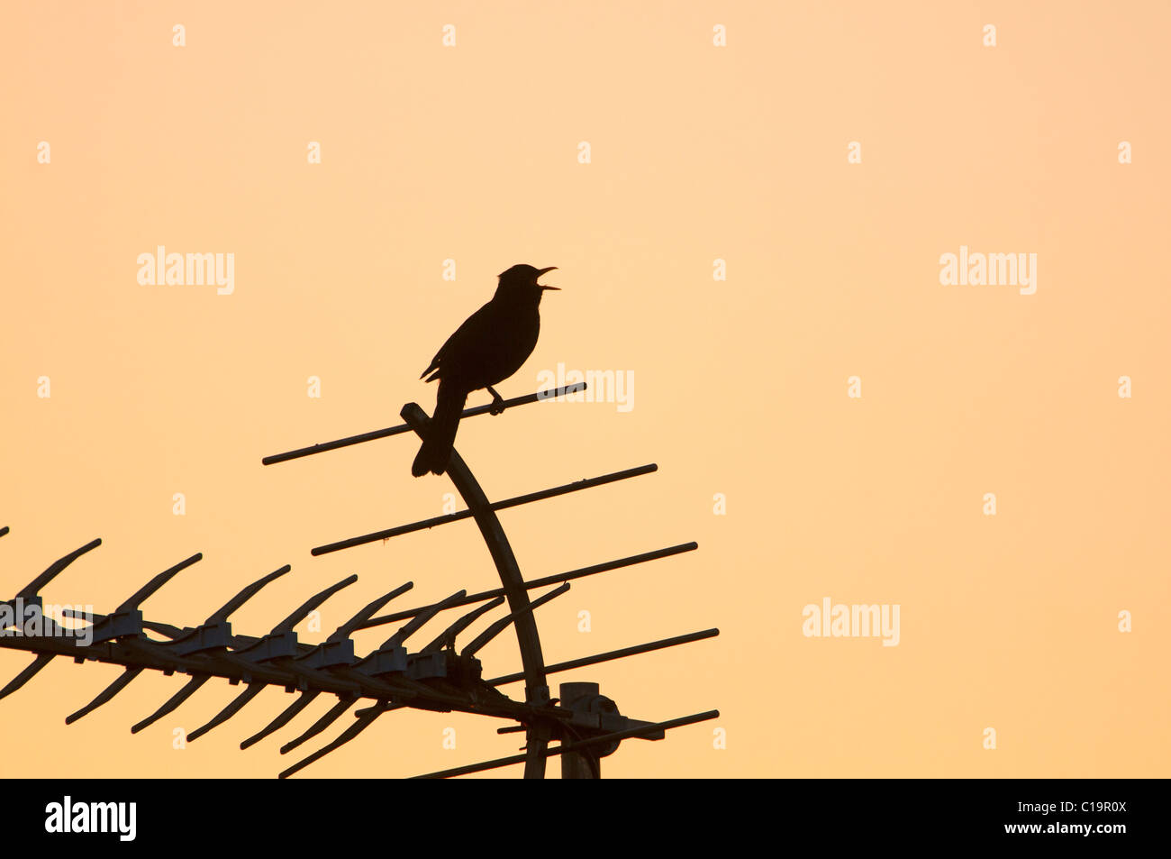 Blackbird Turdus merula in song at dawn in centre of town Holt Norfolk May - Stock Image