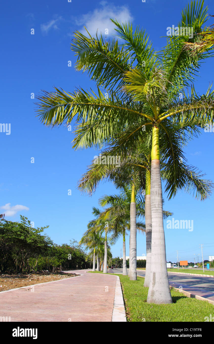 royal palm trees row in tropical garden road in mexico Stock Photo