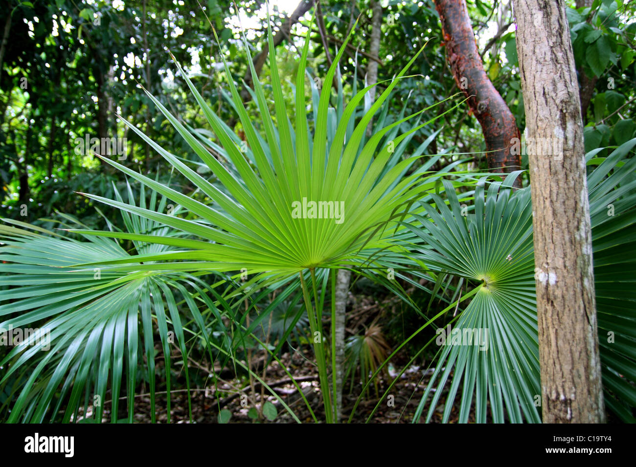 chit palm tree in jungle rain forest in Mayan Riviera Mexico - Stock Image