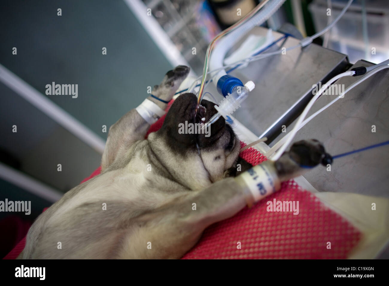 A Pug dog sedated lies before a operation at a Pet Hospital in Condesa, Mexico City, Mexico, January 31, 2011. - Stock Image