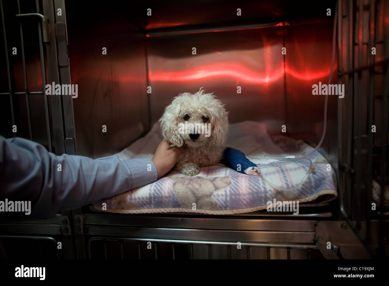 A man strokes his Poodle dog as he recovers from an operation at a Pet Hospital in Condesa, Mexico City, Mexico, - Stock Image