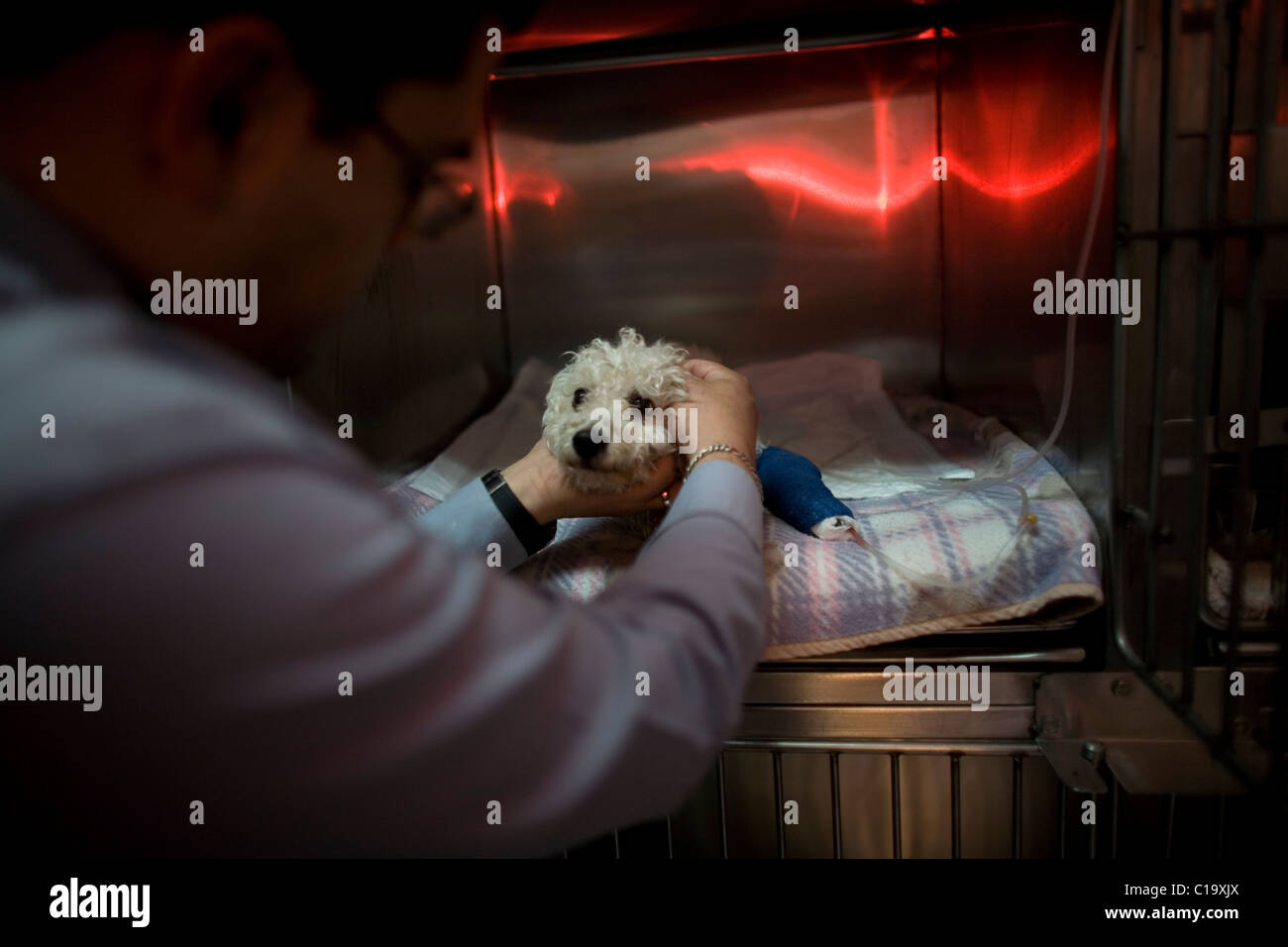A man strokes his Poodle dog as he recovers from an operation at a Pet Hospital in Condesa, Mexico City, Mexico. - Stock Image