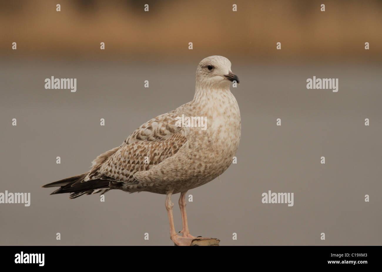 Juvenile Herring Gull Larus argentatus on post, Cornwall - Stock Image