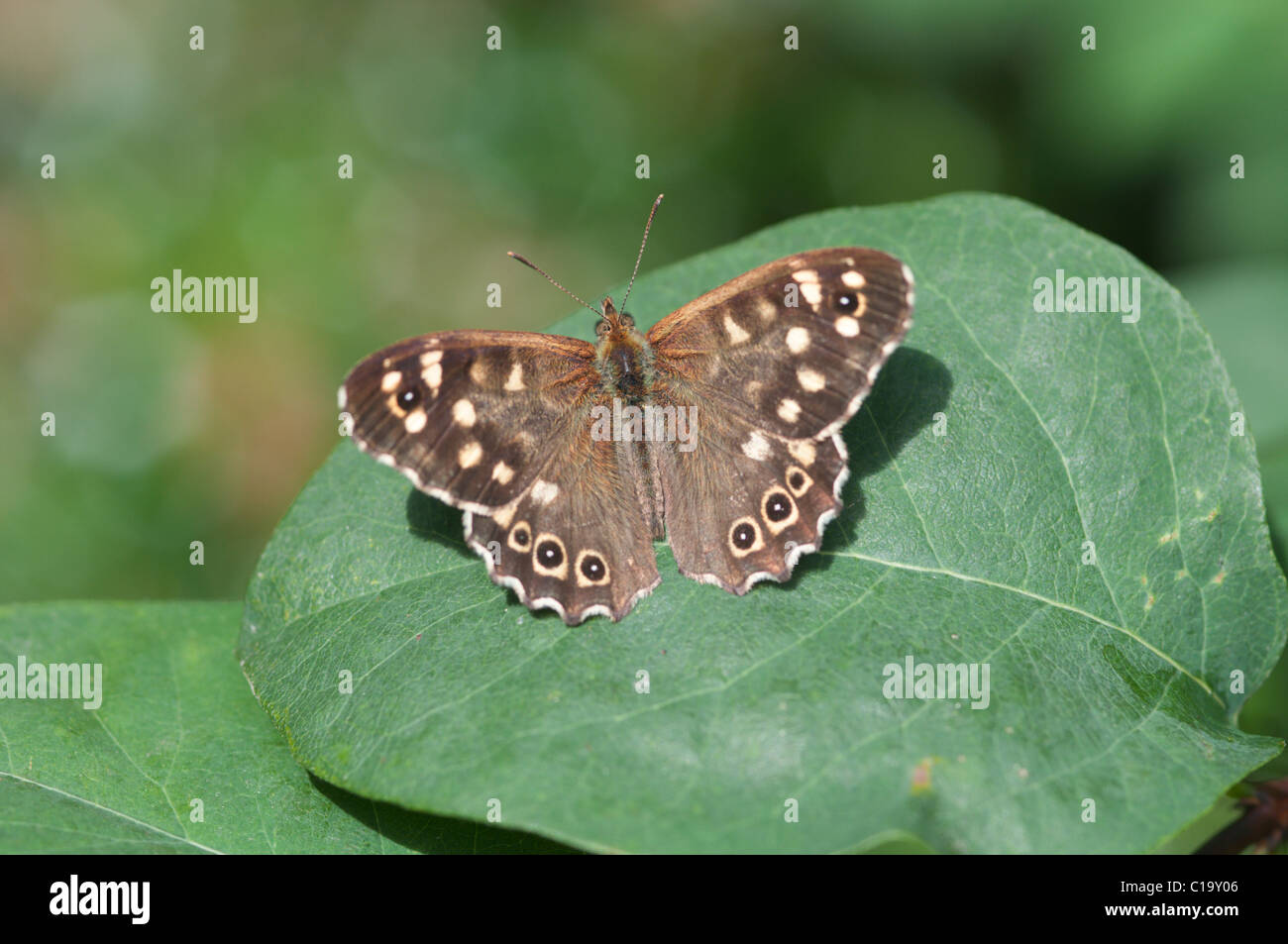 Speckled wood (Pararge aegeria), butterlfy,  Hampshire, UK. July. - Stock Image