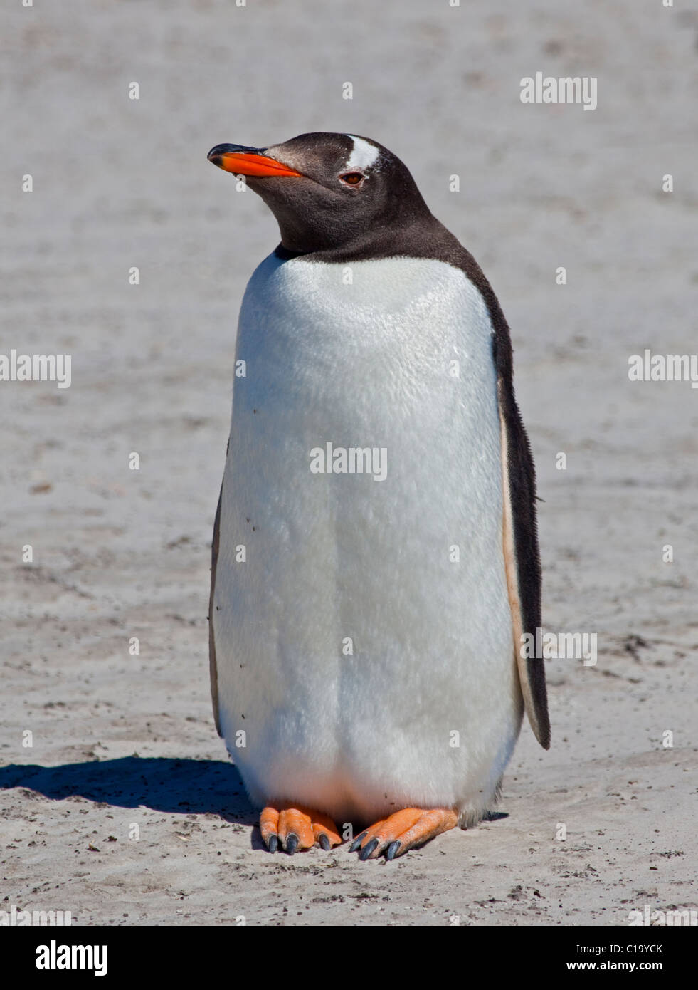 Gentoo Penguin (pygoscelis papua) on the beach, Saunders Island, Falklands - Stock Image