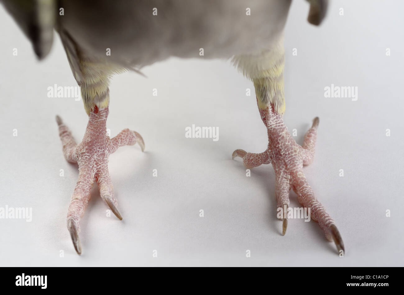 Close up of front view of the dry scaly claws of Pearl Cockatiel bird feet - Stock Image