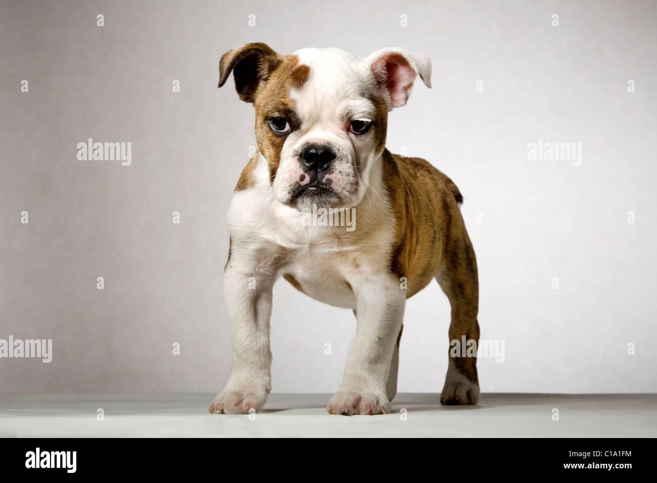 English bulldog pup (Canis lupus familiaris), UK - Stock Image