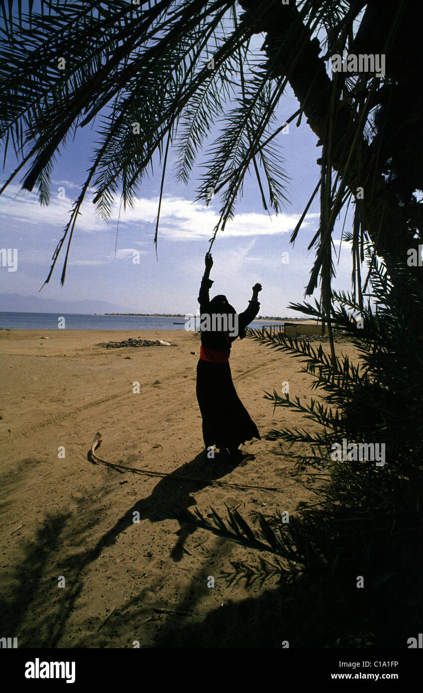 NUWEIBA, SINAI, EGYPT --A BEDUIN WOMAN FETCHES WOOD FROM A PALM TREE NEAR NUWEIBA ON THE RED SEA. Stock Photo