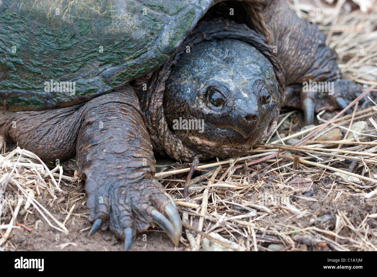 snapping turtle large reptile Stock Photo