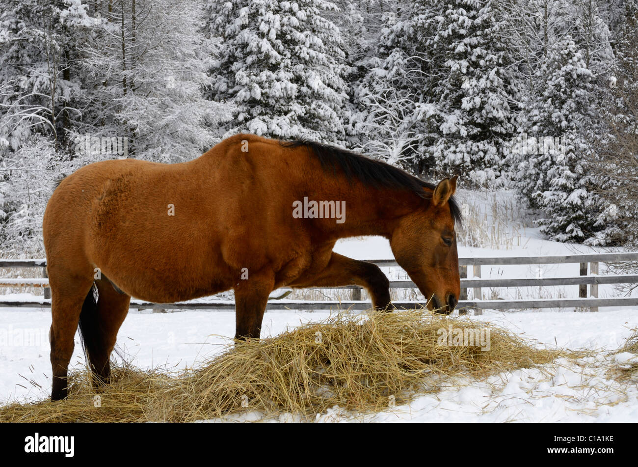 Bay quarter horse pawing hay while grazing turned out in a paddock in the winter beside a snow covered forest in - Stock Image