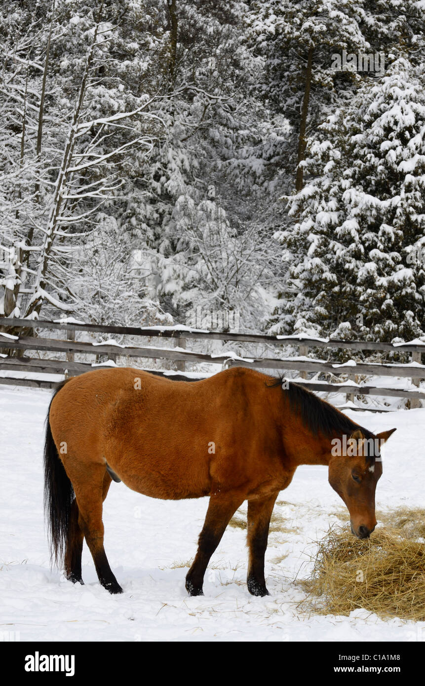 Bay quarter horse in a paddock feeding on hay in the winter beside a snow covered forest - Stock Image