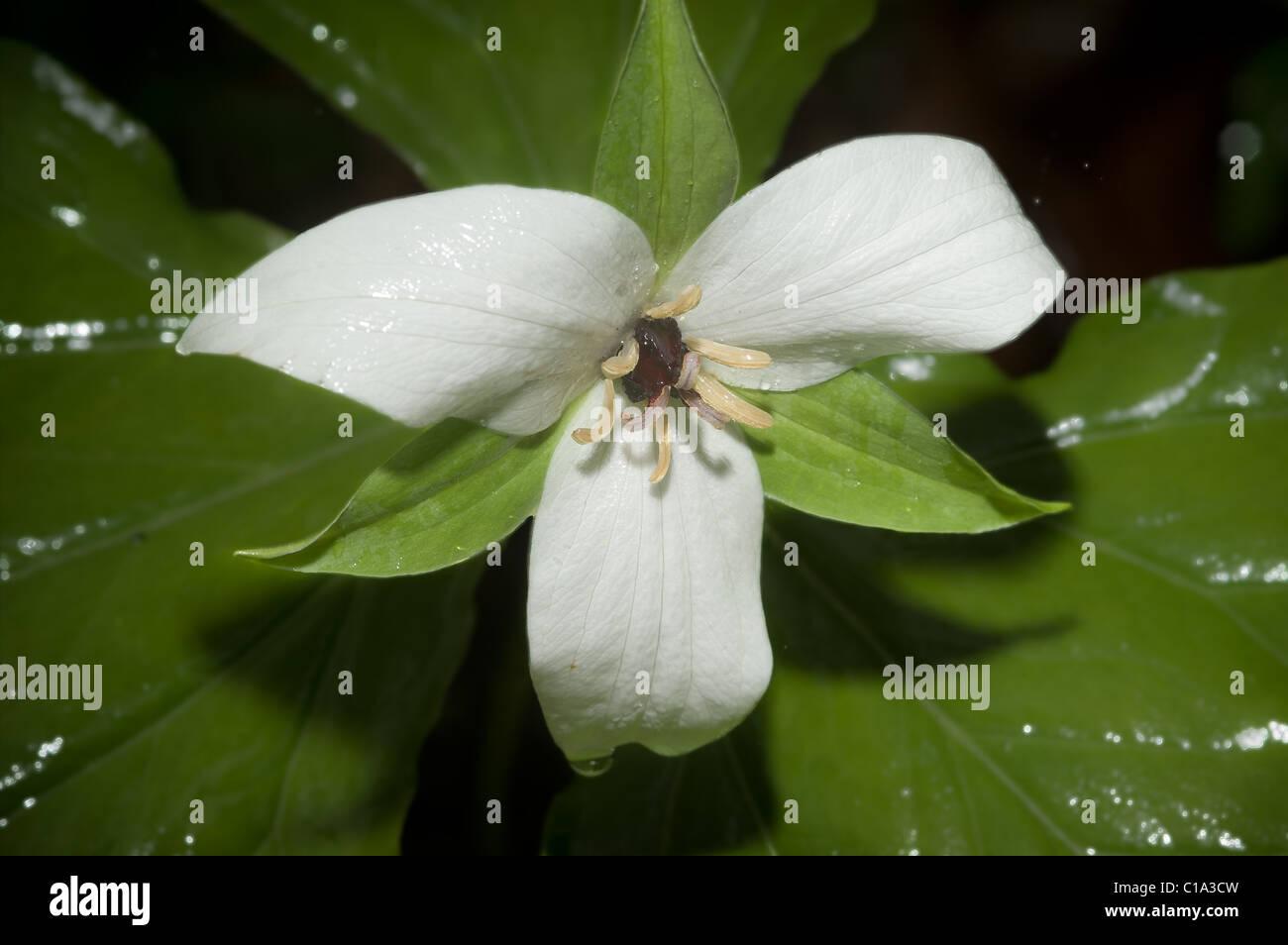 Sweet White Trillium (Trillium simile), Great Smoky Mountains National Park, Tennessee - Stock Image