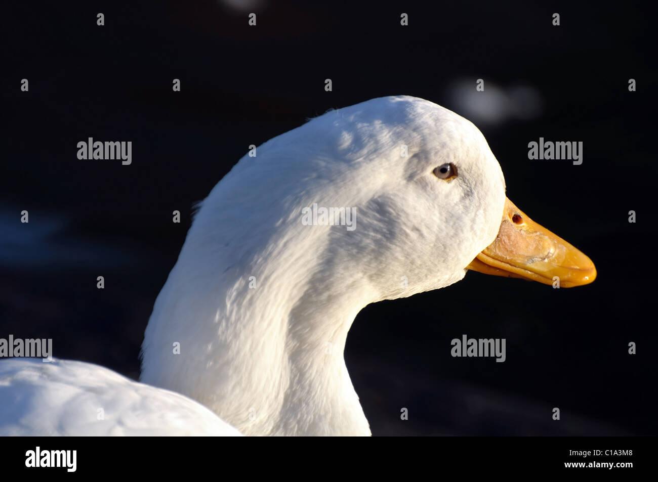 Head shot of an Aylesbury duck - Stock Image