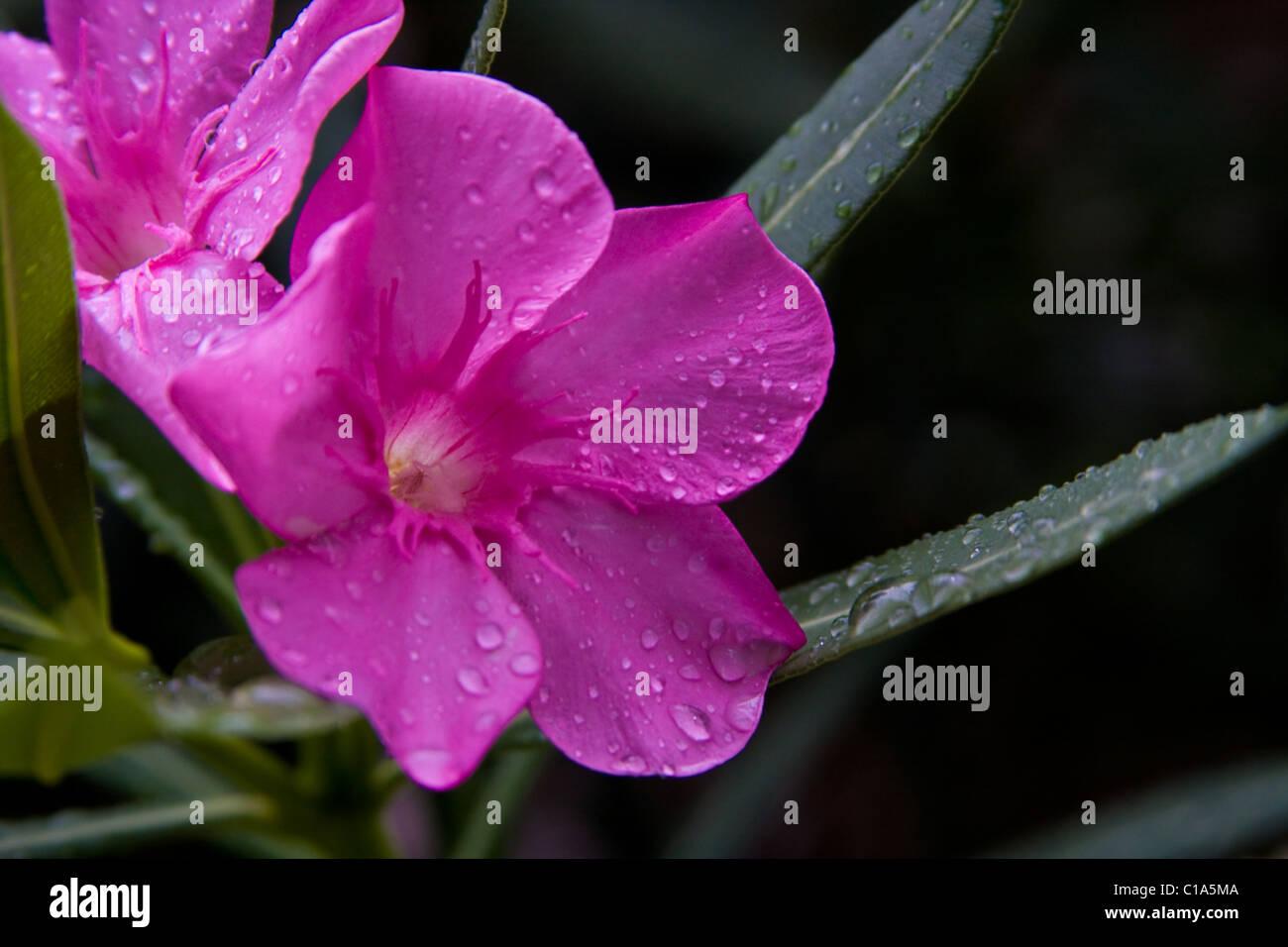 Purple oleander stock photos purple oleander stock images alamy beautiful but poisonous oleander flower blossoms stock image izmirmasajfo