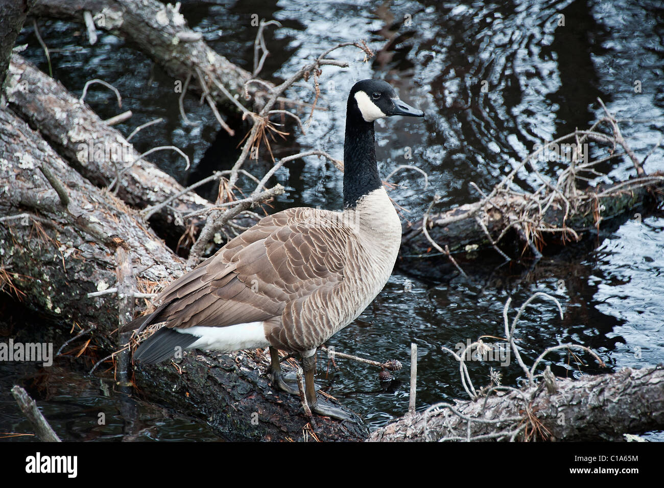Canadian goose. - Stock Image