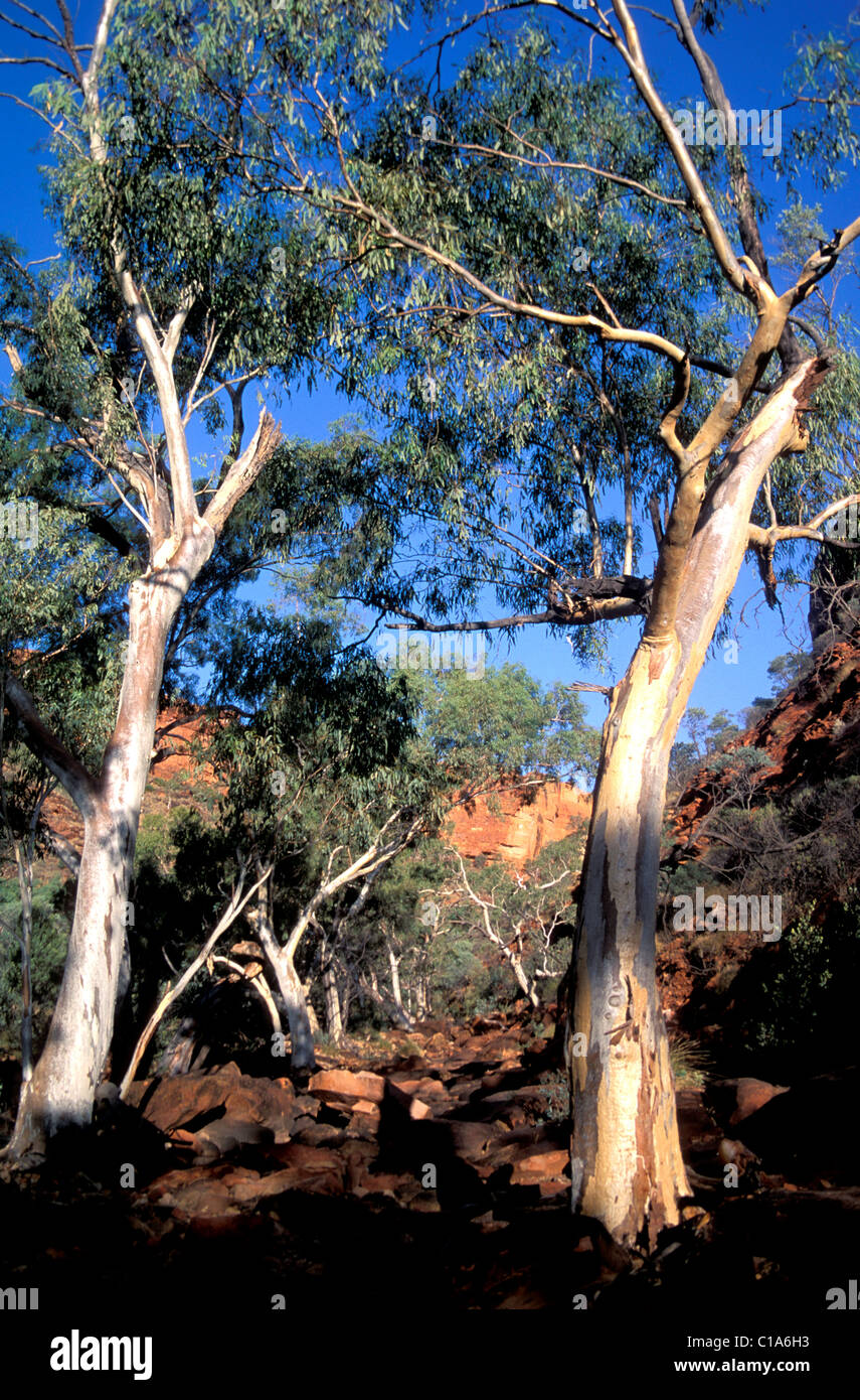 Gum trees line the track up Kings Canyon, Outback Australia - Stock Image