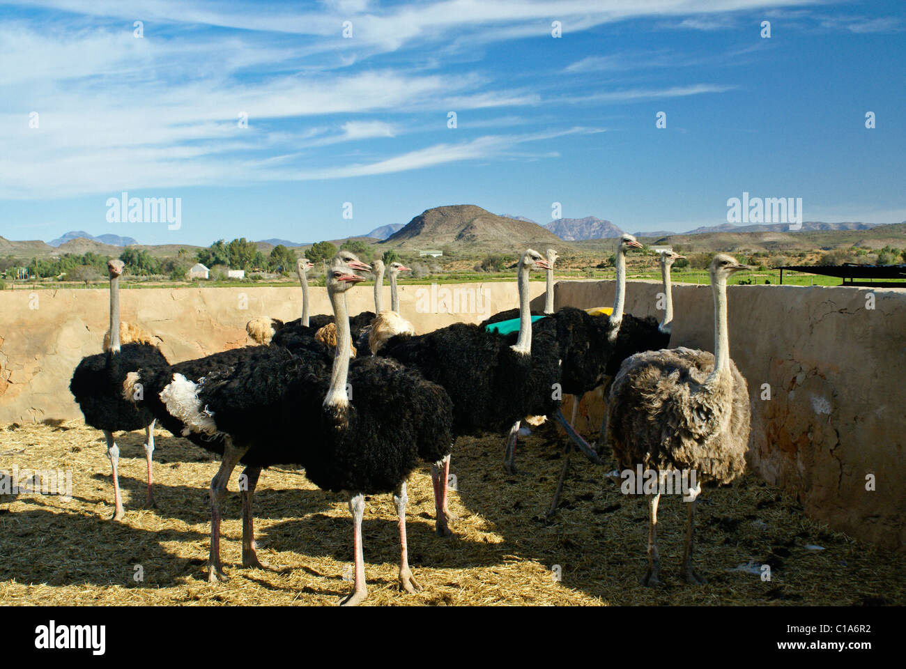 Ostriches at Highgate Ostrich Show Farm, Oudtshoorn, South Africa - Stock Image