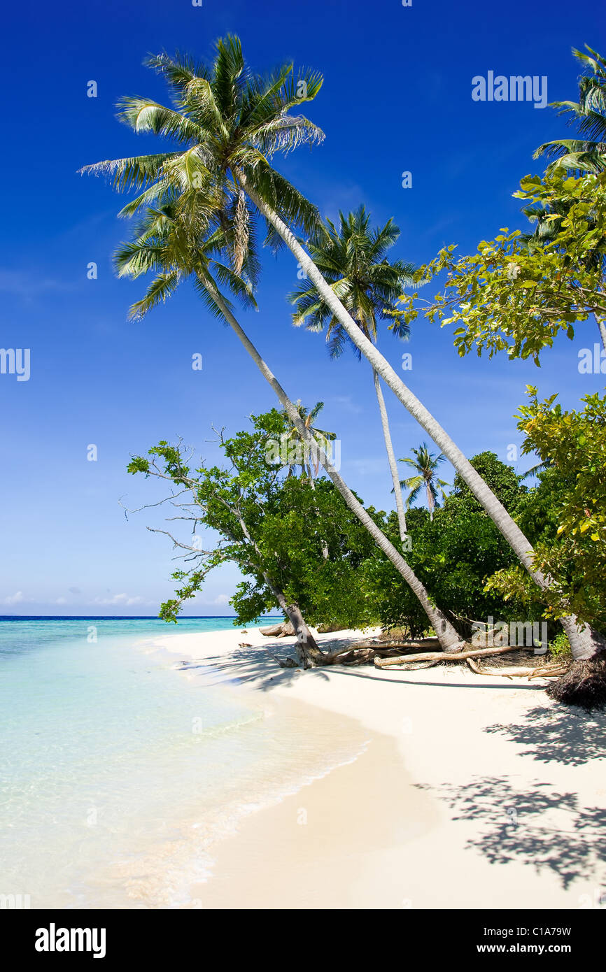 Coconut tree at the tropical beach - Stock Image