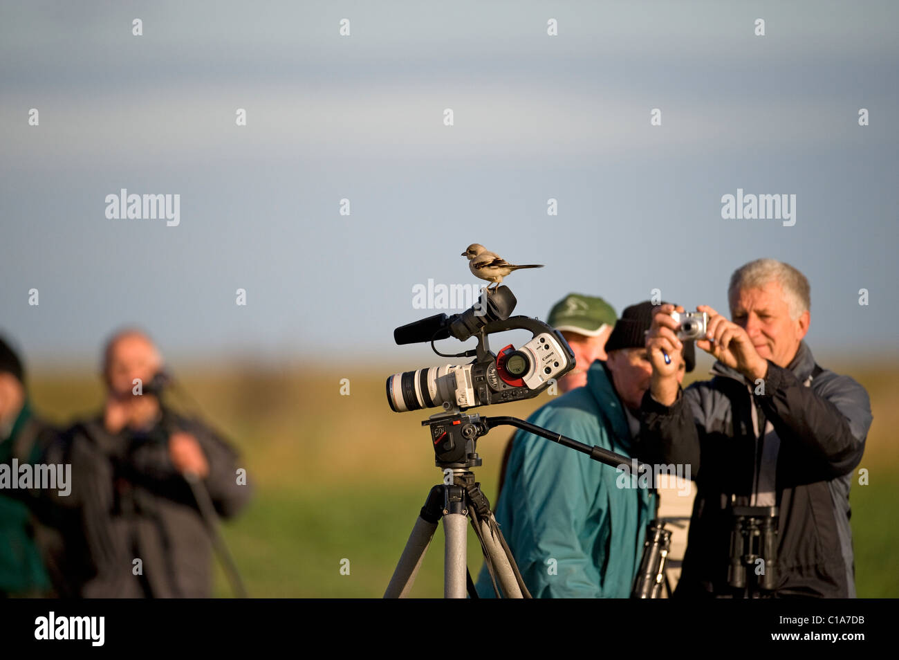 This rare Steppe Great Grey Shrike, ( Lanius meridionalis pallidirostris1st  for Lincolnshire had almost certainly - Stock Image