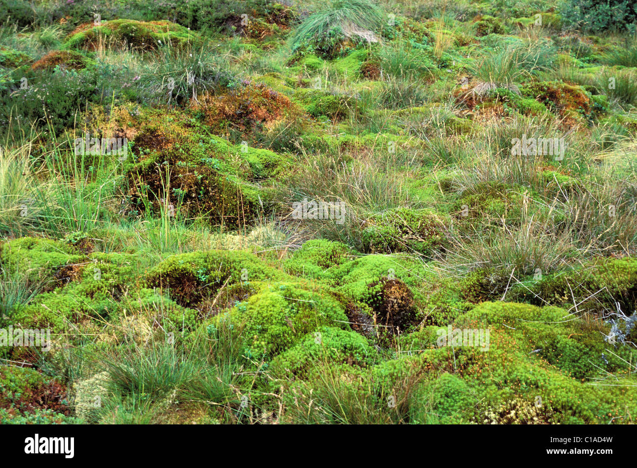 Sphagnum (moss) and heather in peatland - Stock Image