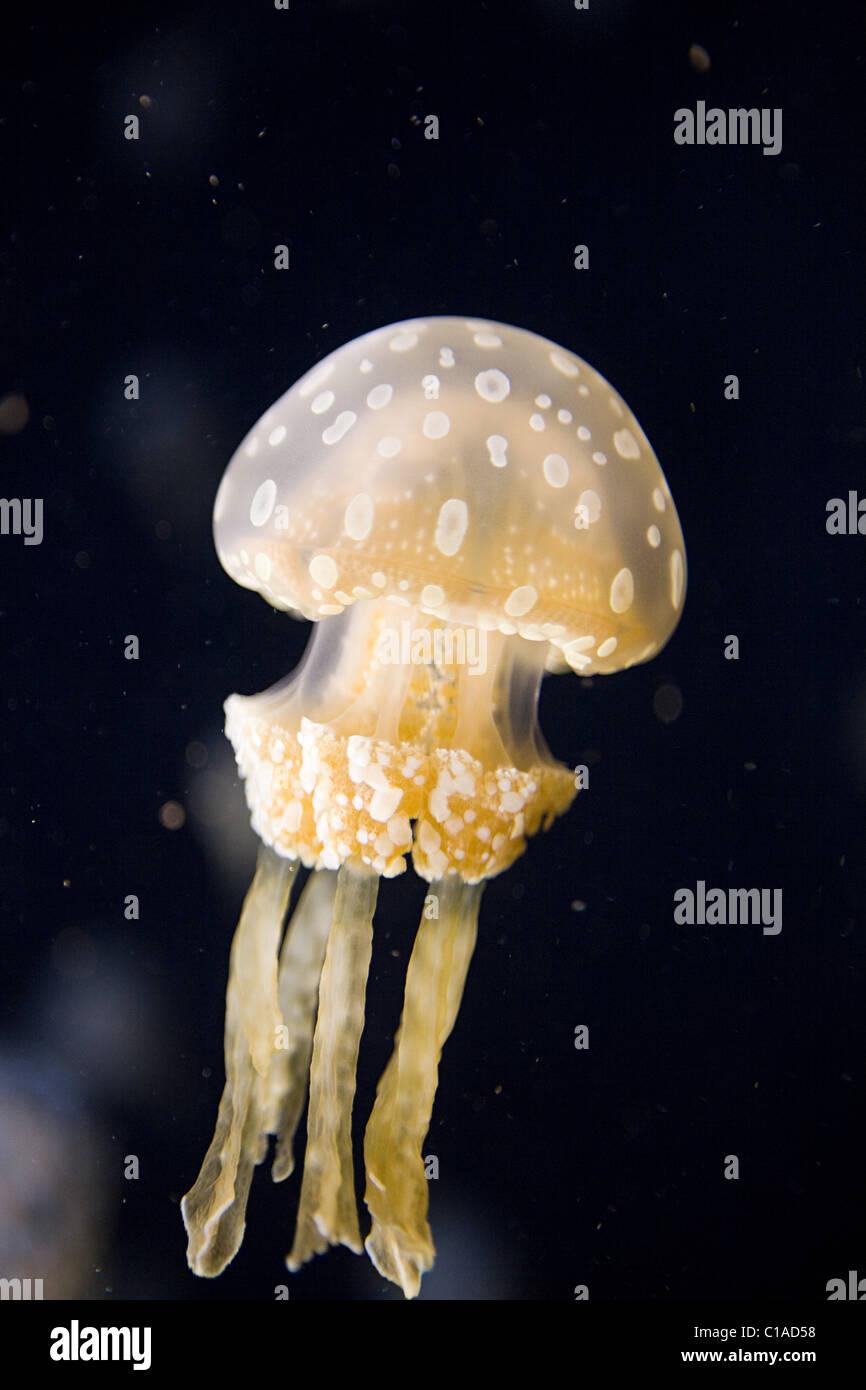 Australian spotted jellyfish - Stock Image