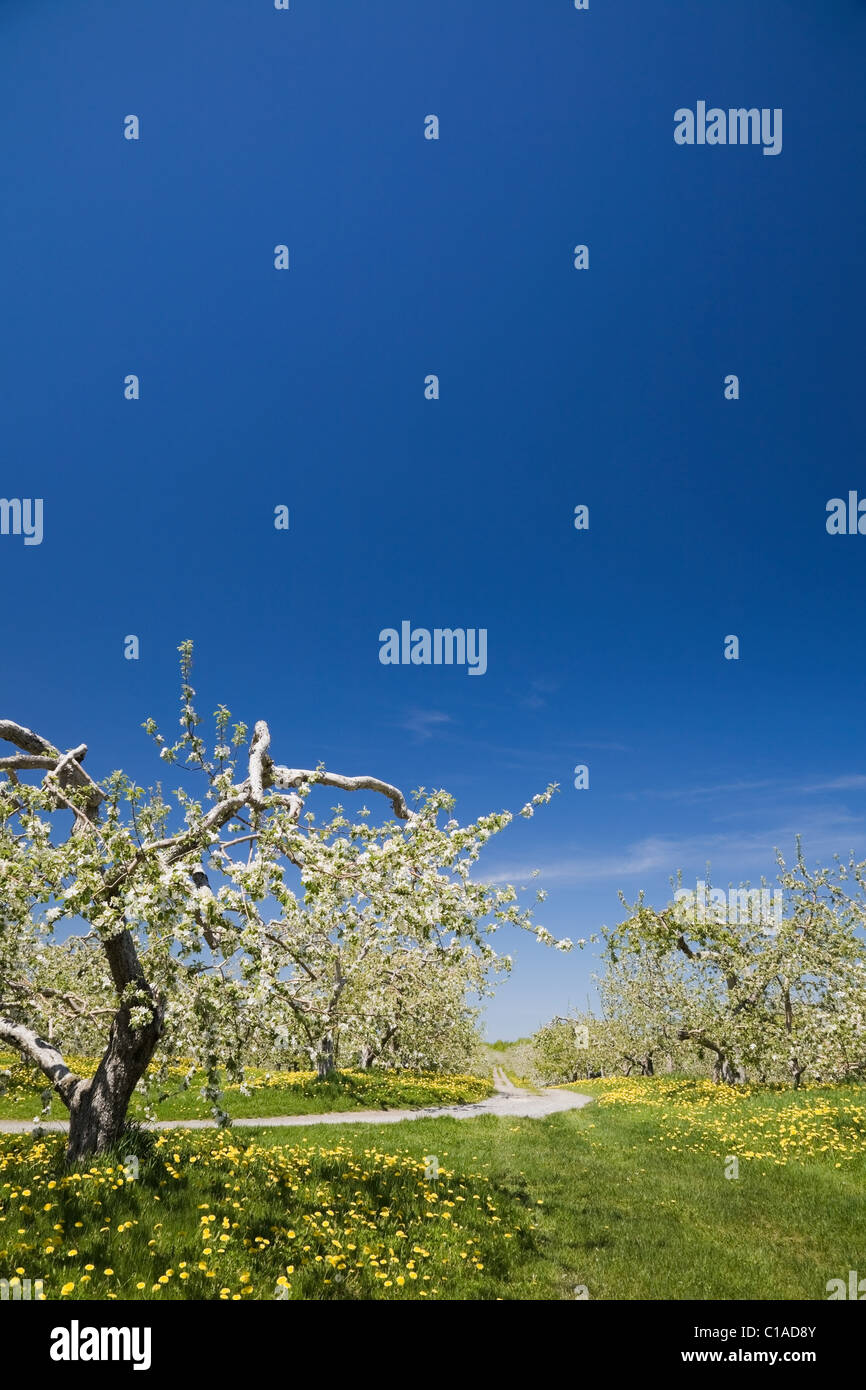 Apple trees in orchard at Spring - Stock Image