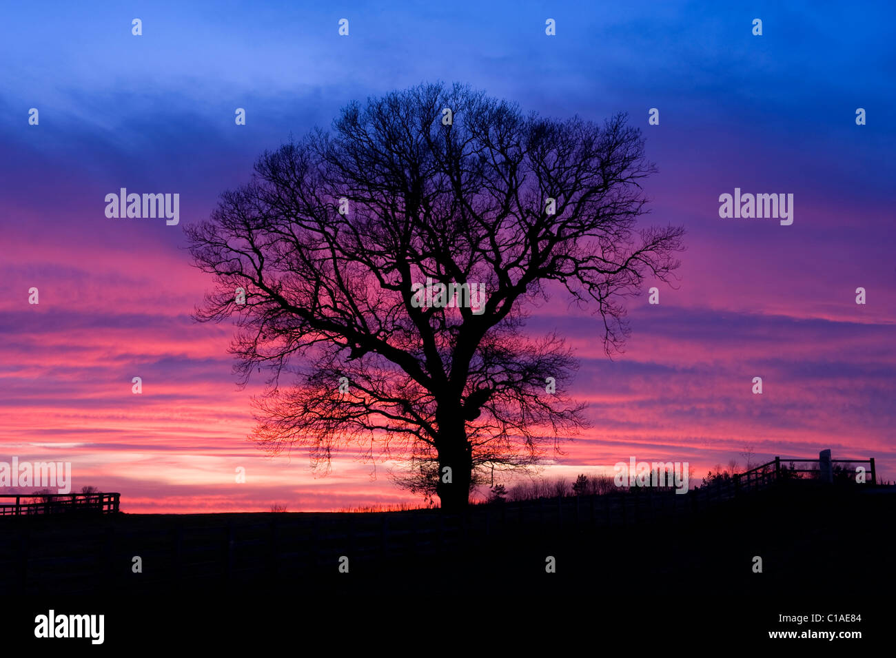 oak tree at sunset in countryside near Wetherby Yorkshire UK - Stock Image