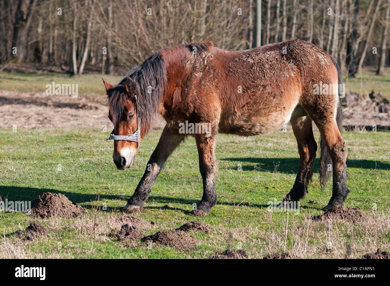 Croatian posavac horse grazing in the field - Stock Image