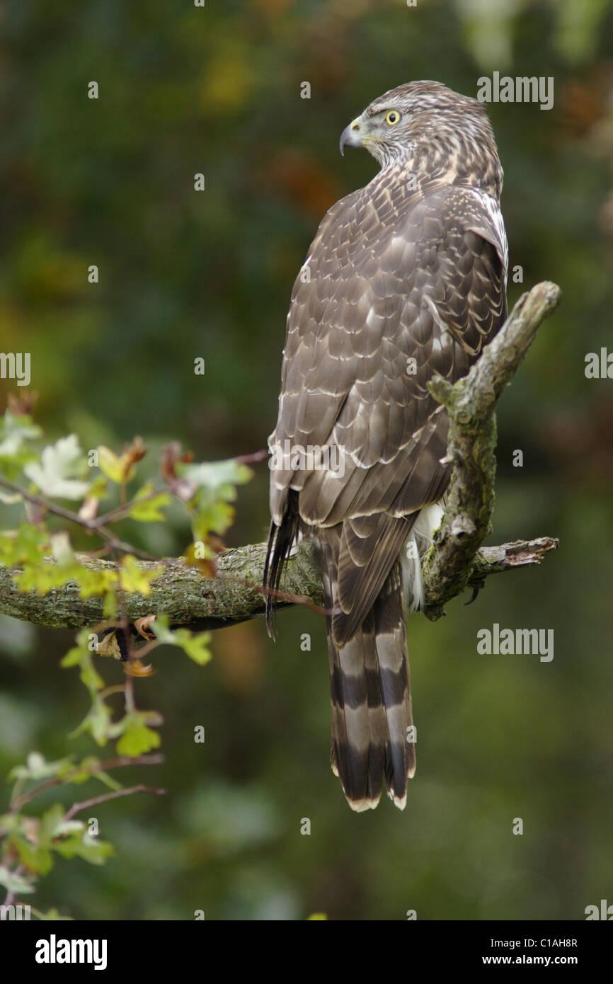 Juvenile northern goshawk