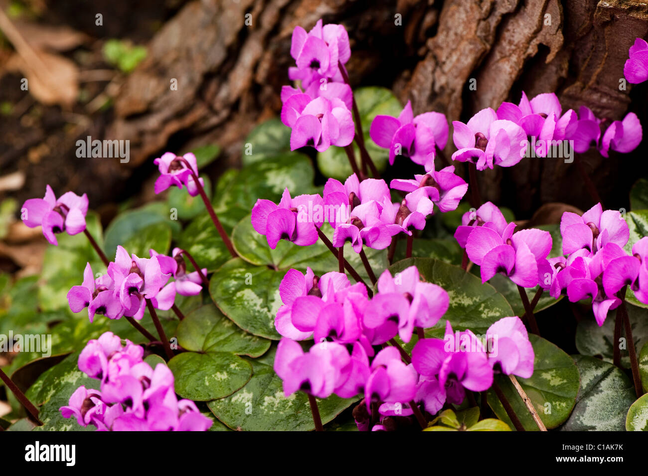 Cylamen coum in bloom in February - Stock Image
