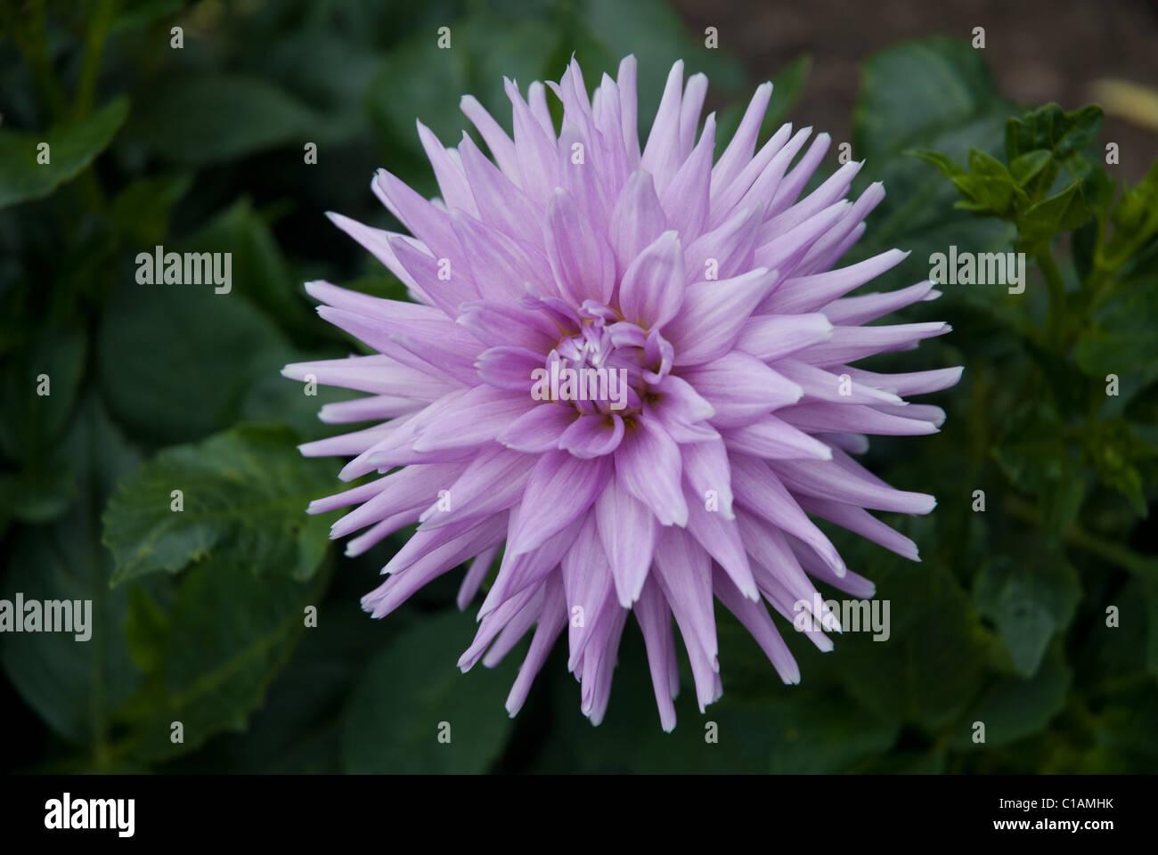 Dahlia Perennial Flower Blue Stock Photos Dahlia Perennial Flower