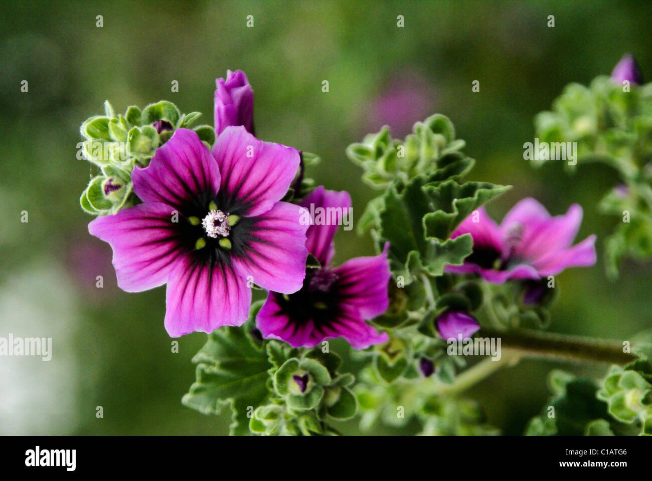 Purple wildflower, Western Cape, South Africa Stock Photo