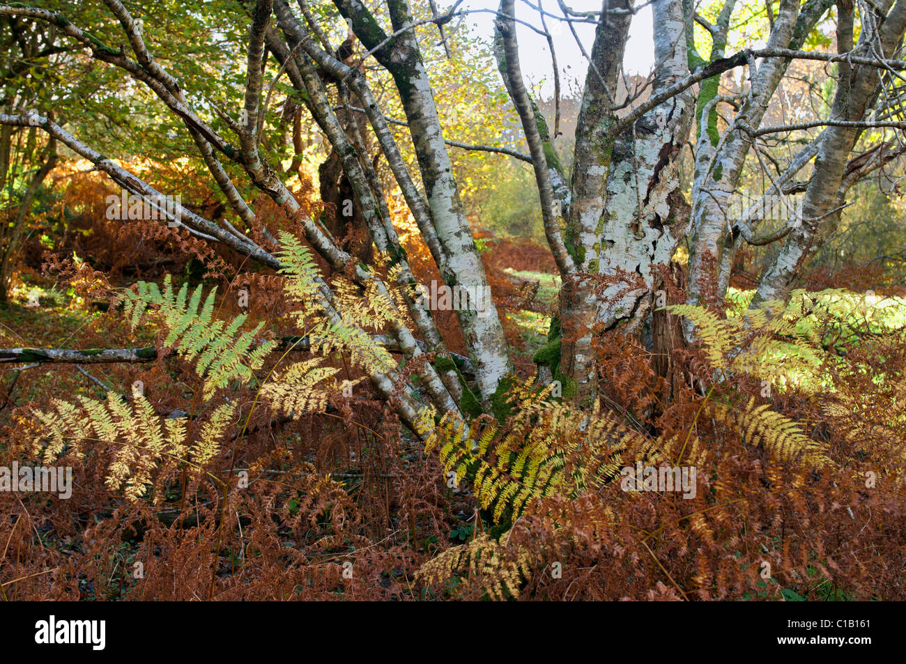 Cluster of coppiced hazel and bracken in autumn colour - Stock Image