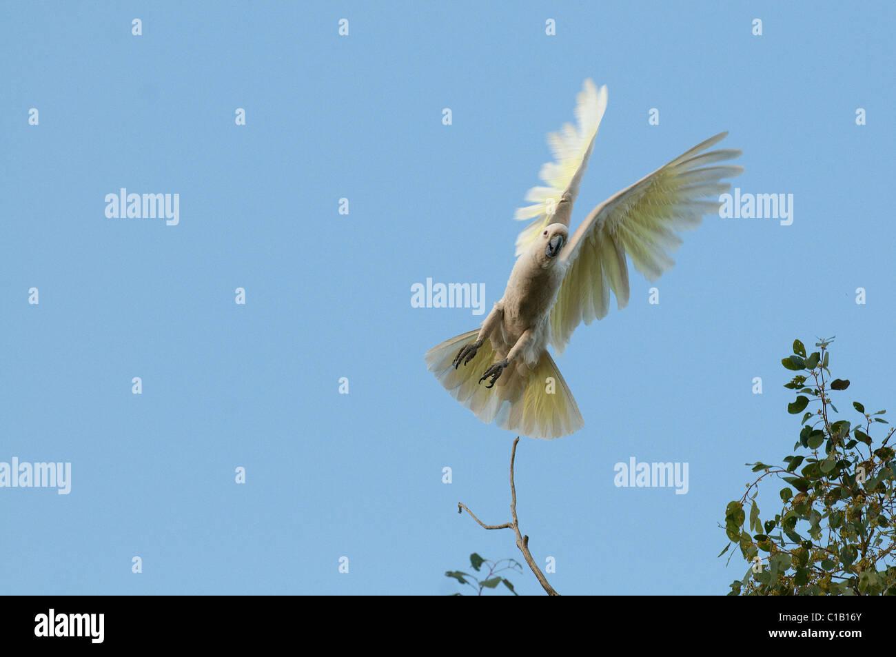 Sulphur-crested Cockatoo Cacatua galerita Queensland Australia - Stock Image