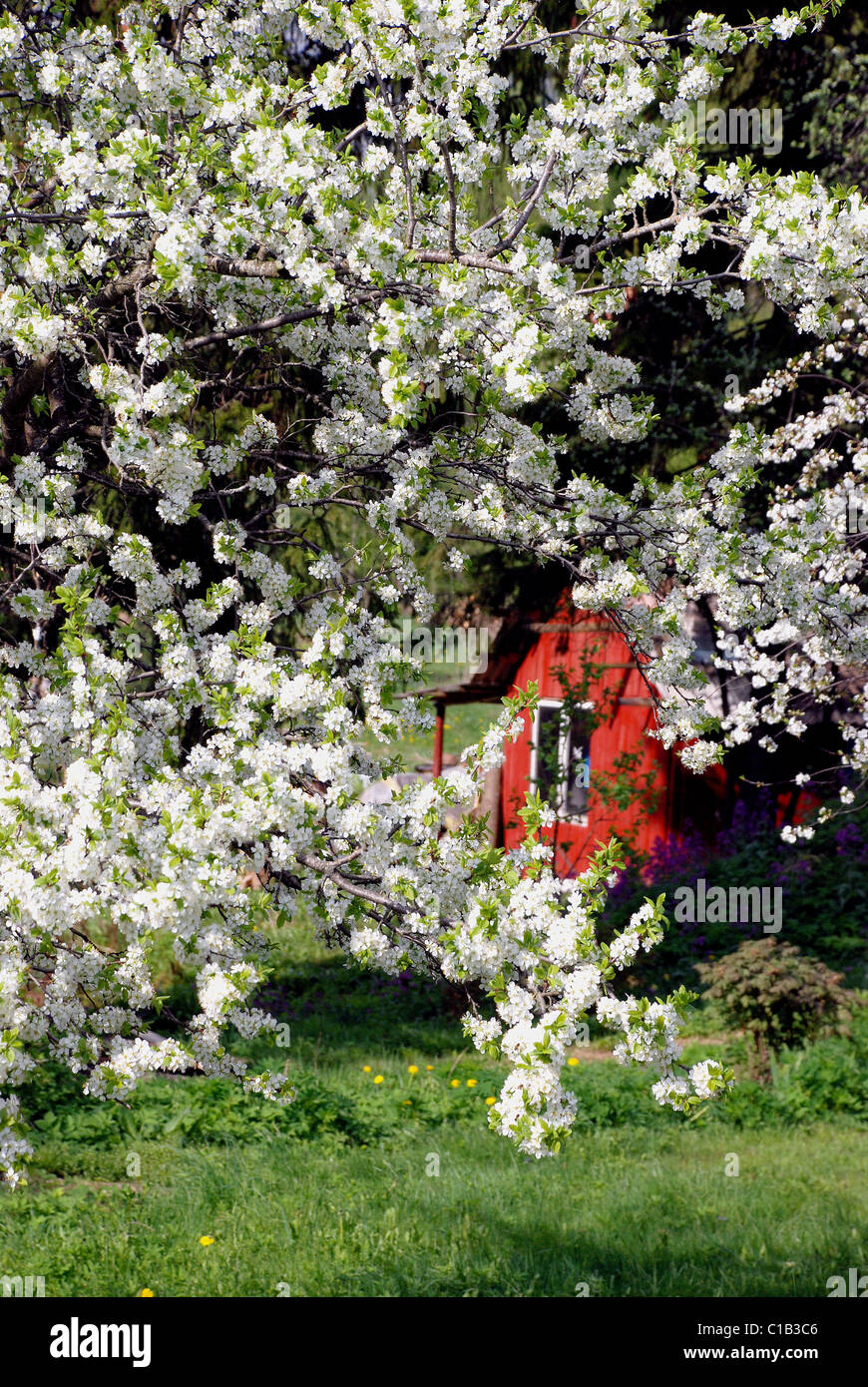 wonderfull plump tree with many little blooms in sunny day. - Stock Image