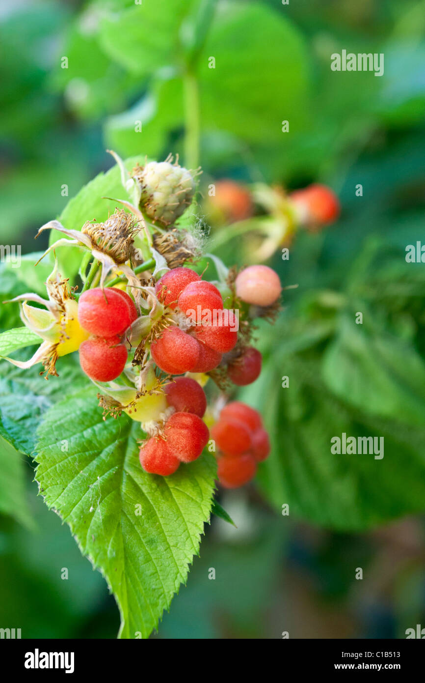 Incomplete pollination with Raspberries - Stock Image