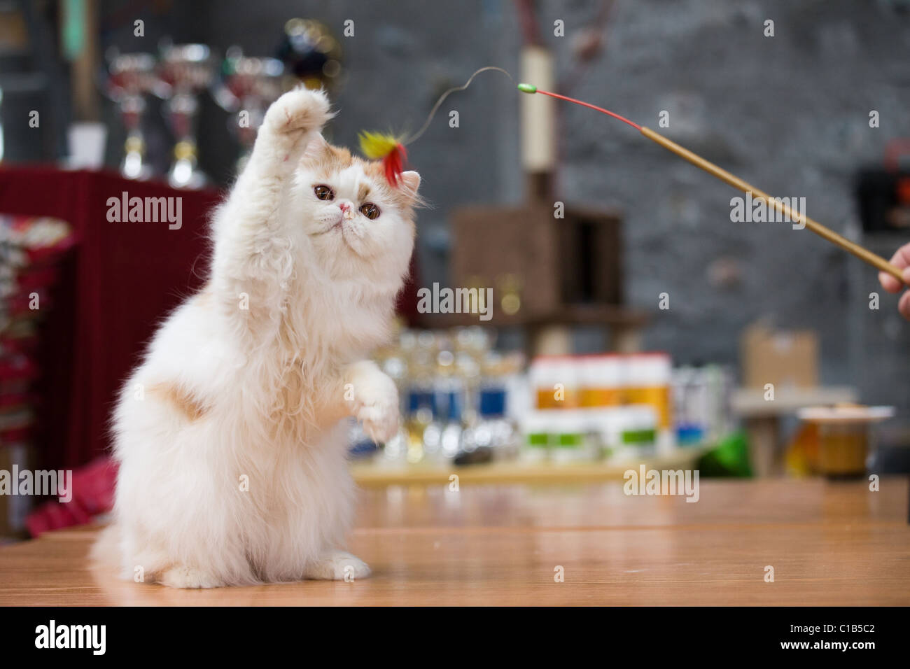 Persian cat champion play with a toy - Stock Image