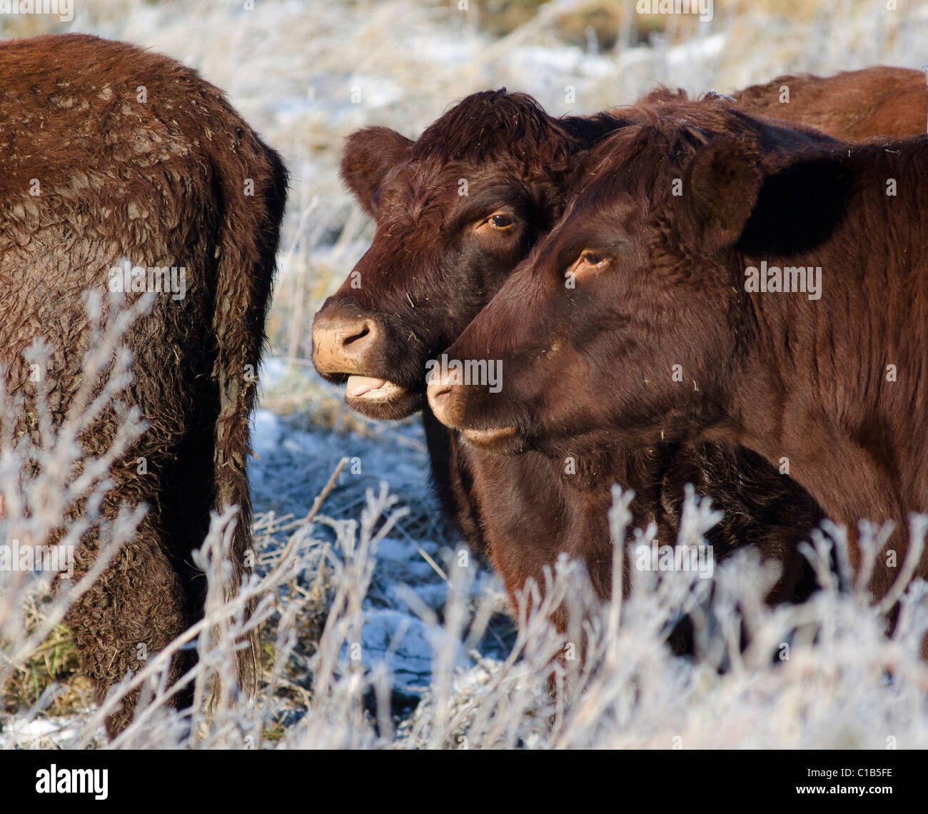 Head shots of two Lincoln red cows together in frosty conditions - Stock Image