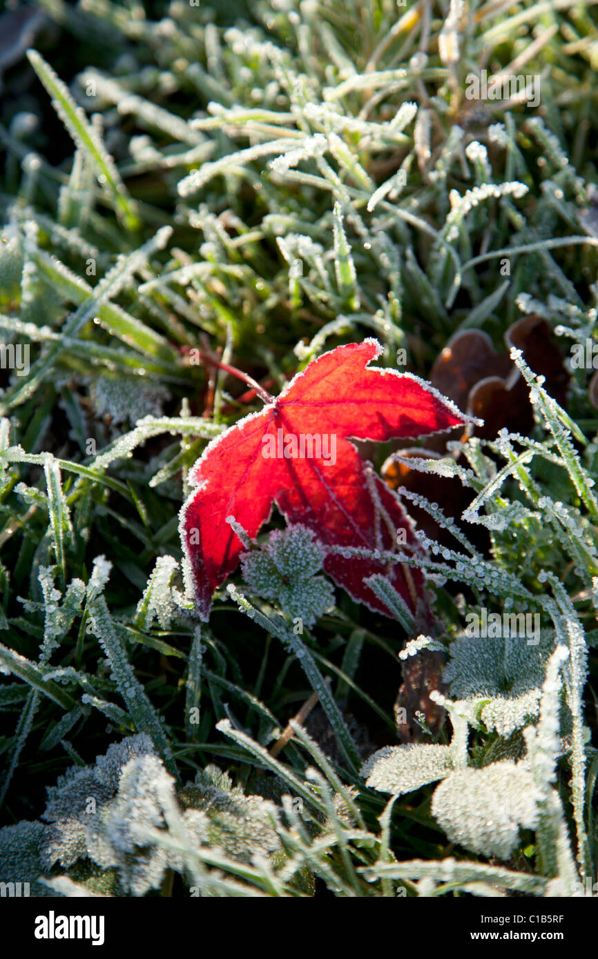 Autumn leaf in frost - Stock Image