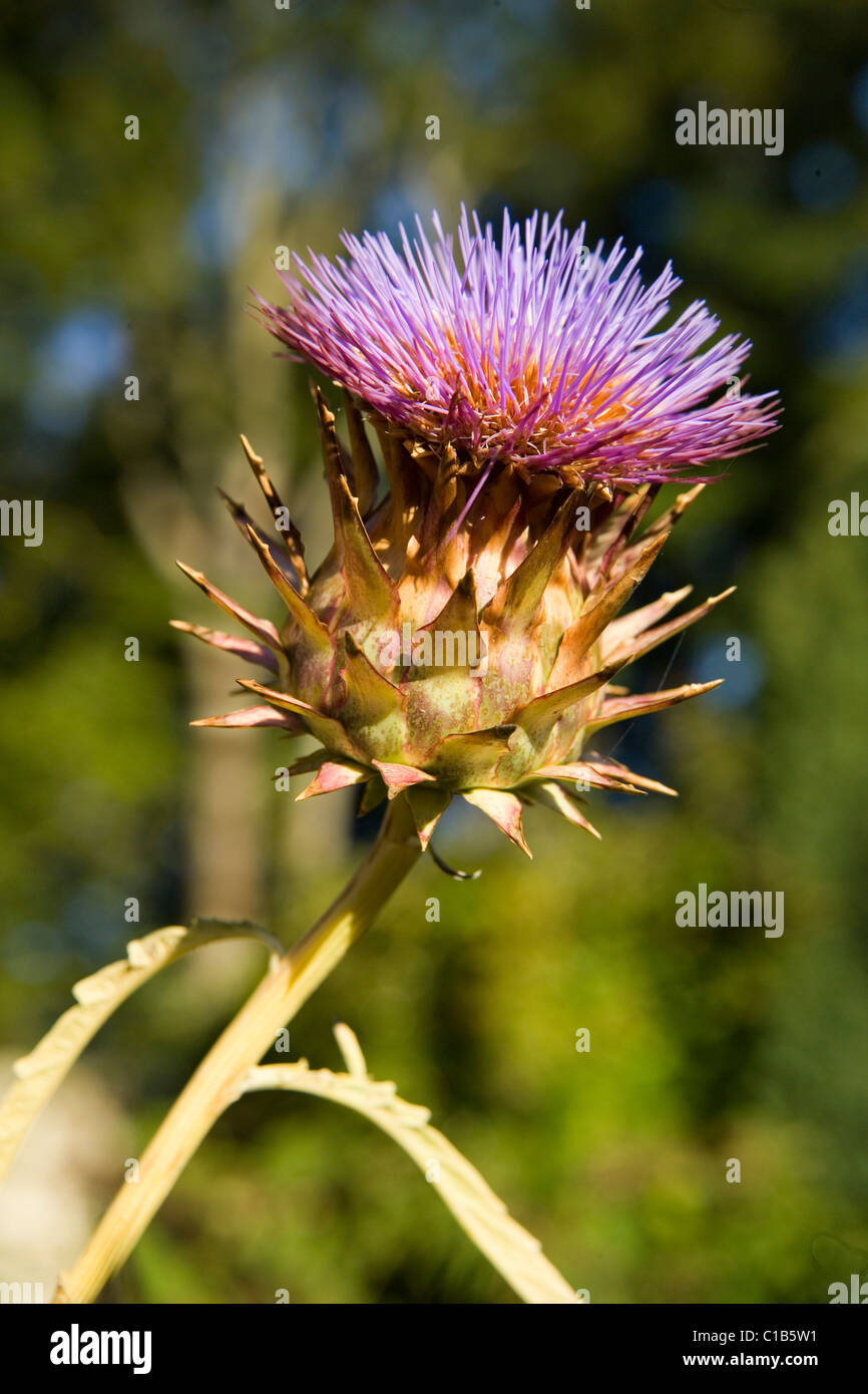 Hybrid Thistle bloom - Stock Image