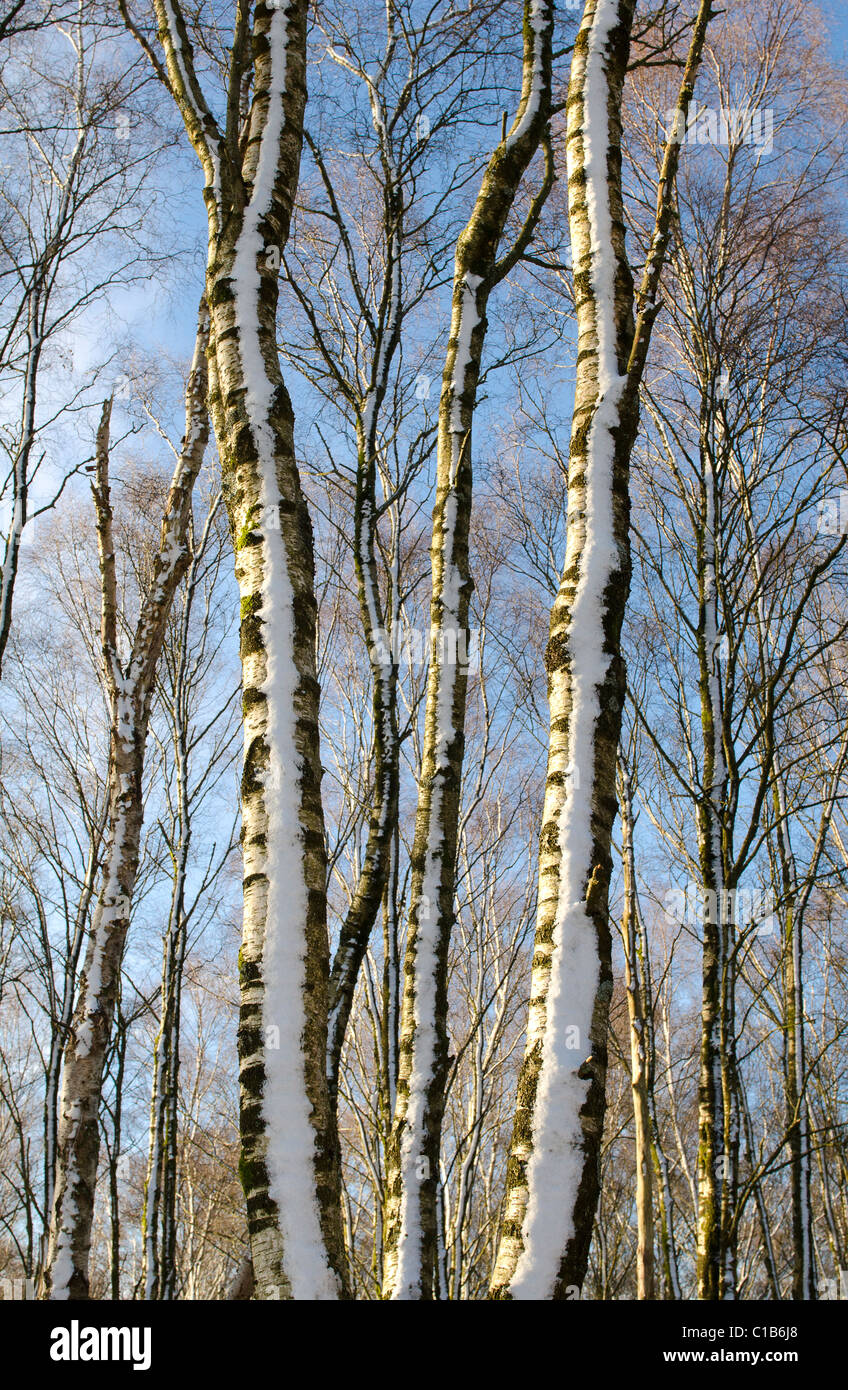 Long slender trunks of Silver Birch trees in copse with snow and bright  sunshine - Stock Image
