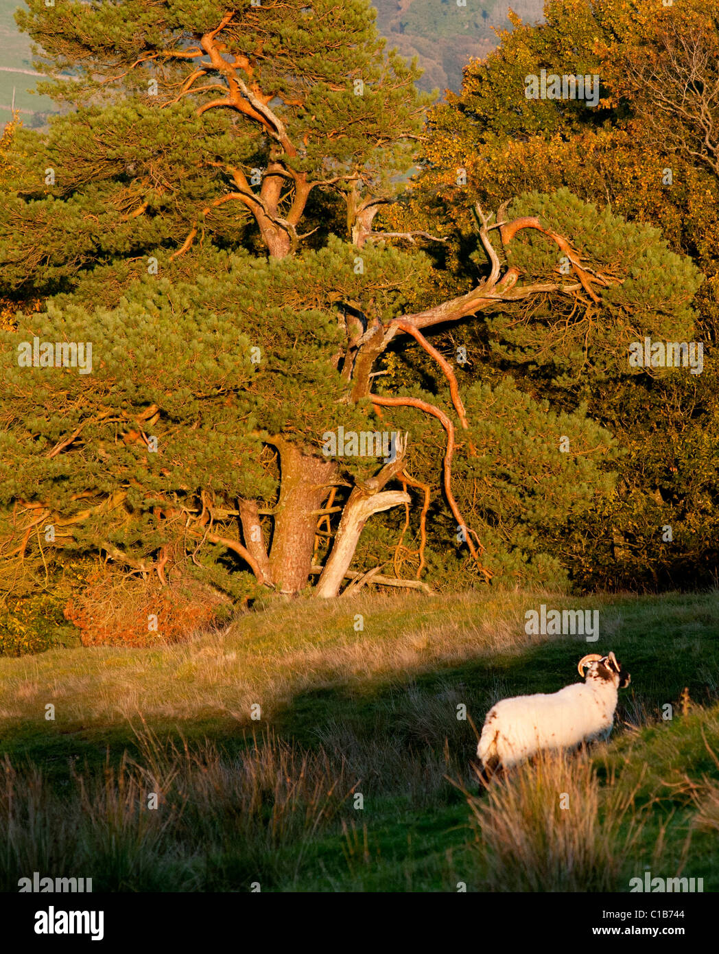 Mature Scots Pine catches the late autumn sun with Blackface ewe in foregorund - Stock Image