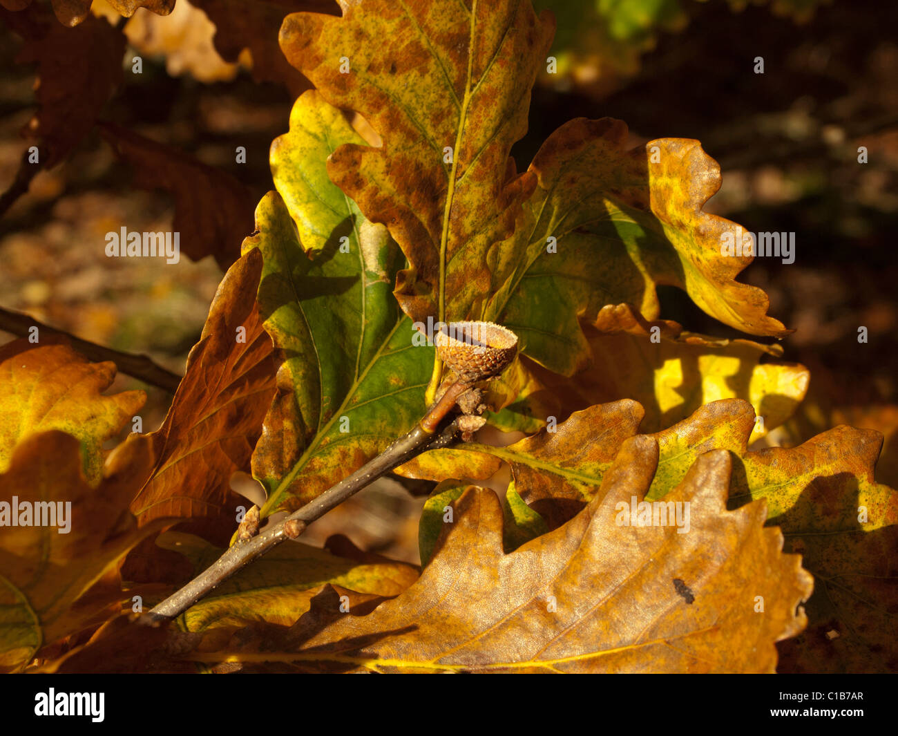 Oak leaves and empty acorn cup in autumn colour - Stock Image