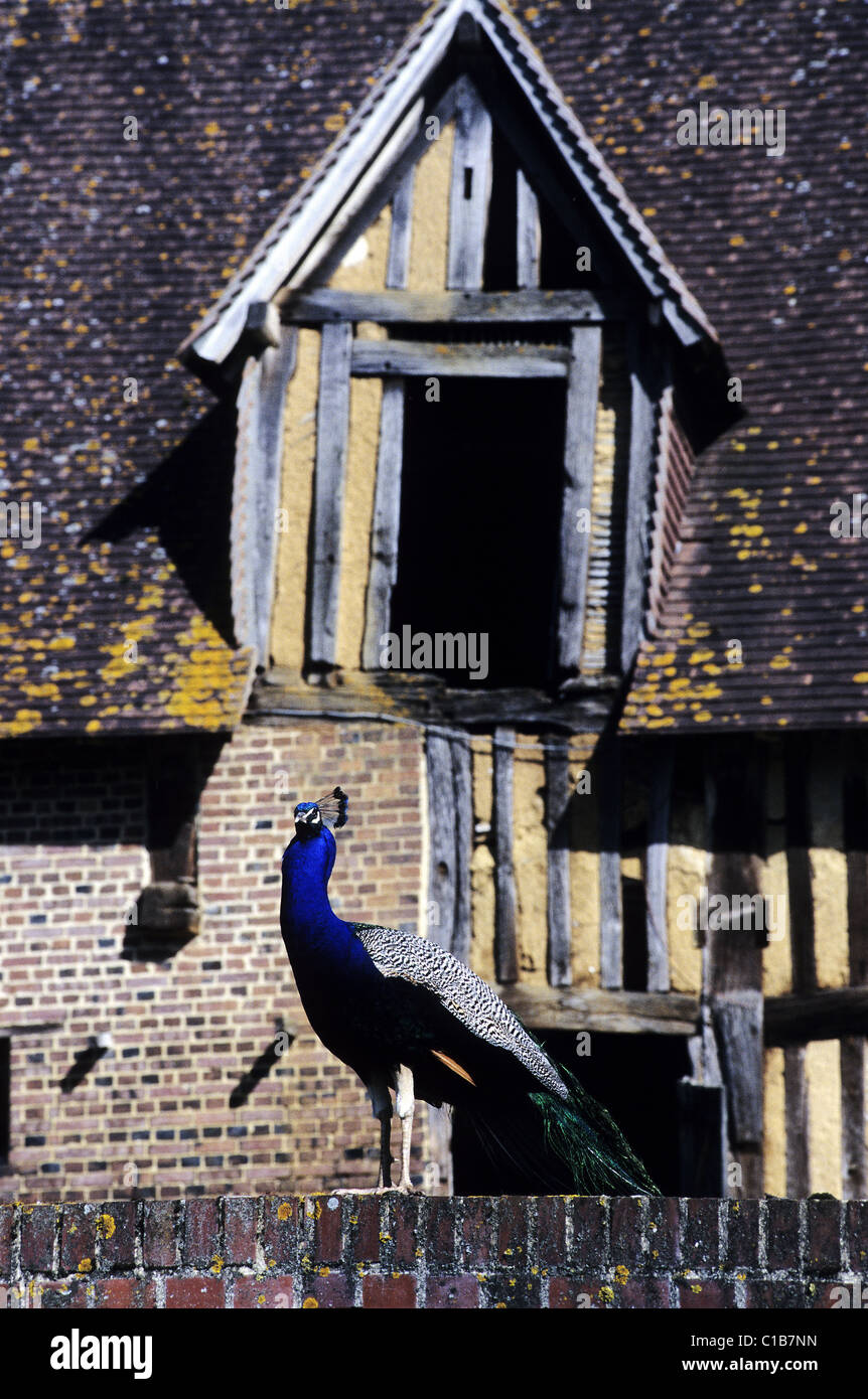 France, Calvados, a peacock in front of a frontage with half timberings at the castle of Saint Germain de Livet - Stock Image